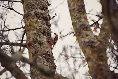 Brown Creeper Seattle, WA
