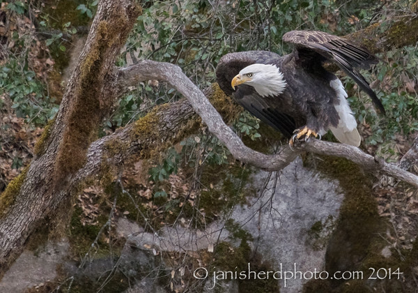 Bald eagle, near Yosemite Park, California
