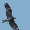 Black Kite with a twig