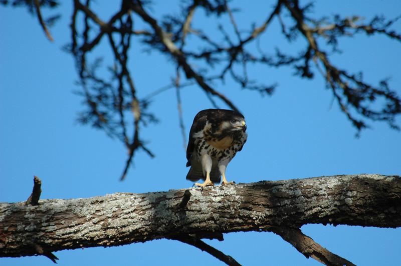 Ayres Hawk Eagle - Hieraaetus ayresii