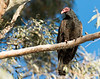 Roosting turkey vulture