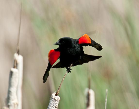 Red Winged Blackbird Starts Flight
