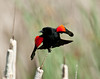 Red Winged Blackbird Starts Flight