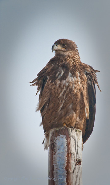 Immature Bald Eagle, Sammish Flats, Washington