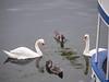 Mute swans<br /> Copenhagen