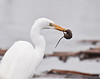 Great egret with mouse