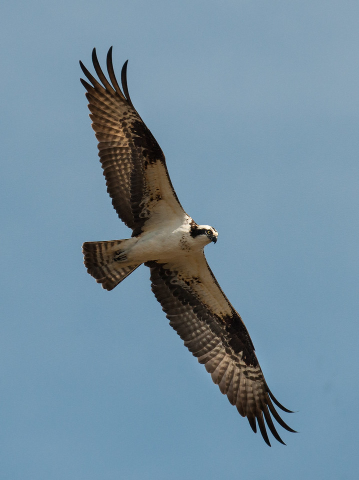 Osprey flying above