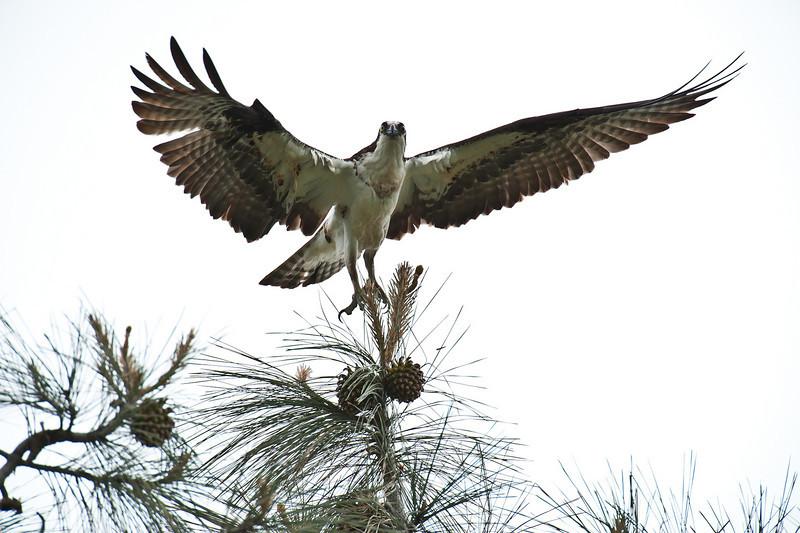 Osprey in pine tree