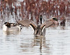 Northern Pintail Wings