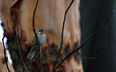 Song Sparrow, Seattle 2013
