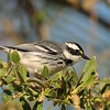 Black-throated Gray Warbler,in Covington Park,Morongo Valley,CA.