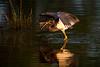 Tricolor Heron, sunrise