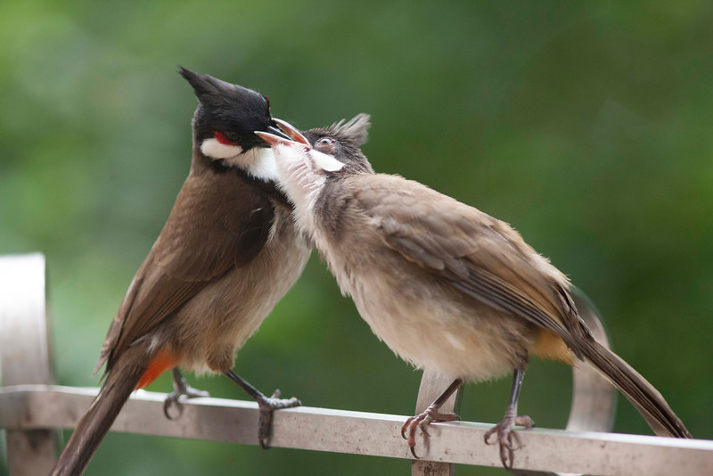 Feeding young Red Vented Bulbul