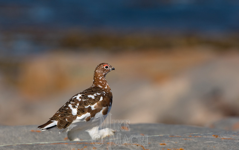 Willow ptarmigan, fall plumage #1