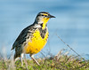 western meadowlark, morning light