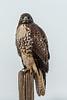 Redtail hawk, Colusa Natioanl Wildlife Refuge