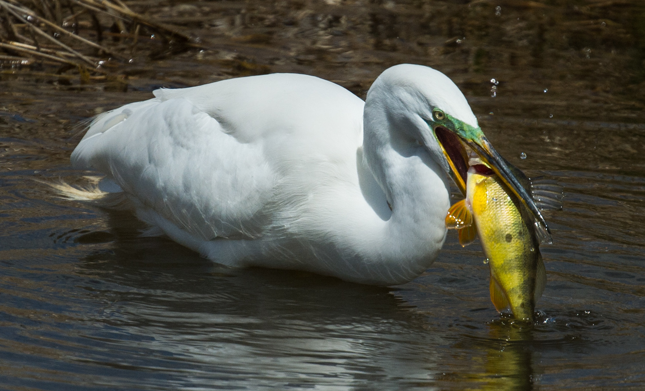 Egret with prey