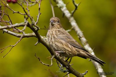 House Finch (Carpodacus mexicanus) is a bird in the finch family Fringillidae.  Мексиканская чечевица.