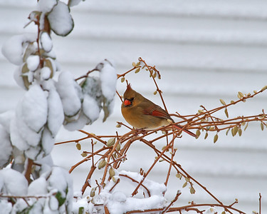Northern Female Cardinal in the snow
