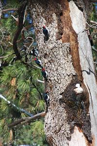 Acorn Woodpecker Colony (Melanerpes formicivorus) Cuyamaca State Park,California