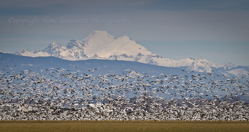 Snow Geese in front of Mount Baker, Fir Island, WA