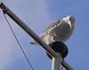Herring gull?<br /> Copenhagen