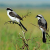 Grey Backed Fiscal Shrikes - Lanius excubitoroides