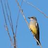 Cassin's Kingbird at Kit Carson Park,Escondido,CA