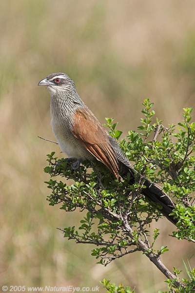 White Browed Coucal, Maasai Mara, Kenya