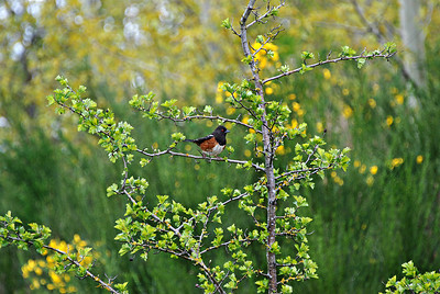 Spotted Towhee Seattle, WA