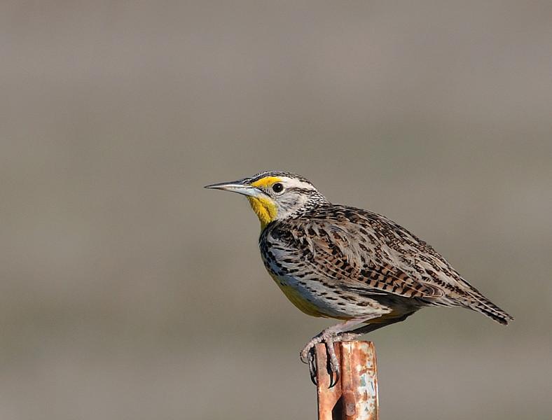 Western Meadowlark at San Jacinto Wildlife ,CA.