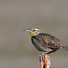 Western Meadowlark at San Jacinto Wildlife ,CA.