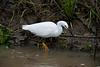 Snowy egret hunting, Sacramento NWR