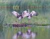 Nesting pair of sandhill cranes with chicks, Floating Island Lake, Yellowstone