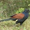 Finally! A  closeup of Greater Coucal