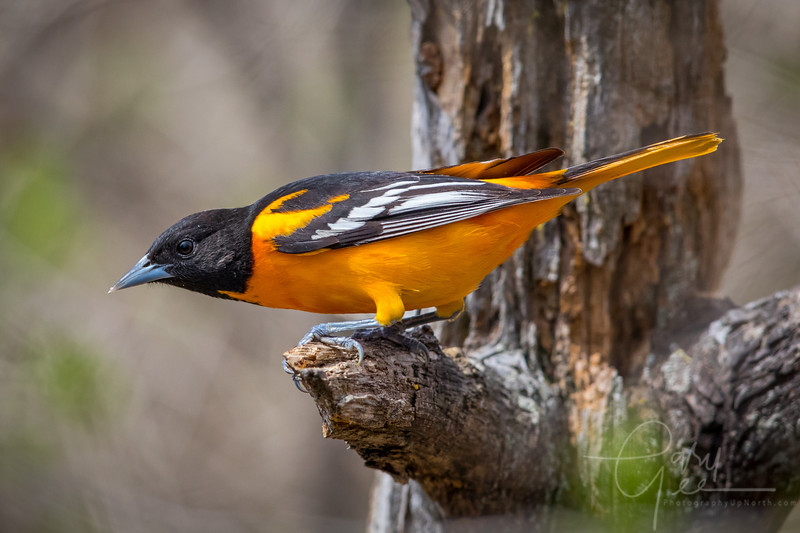 Beautiful Baltimore Oriole Image