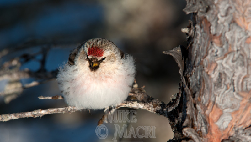 "Hoary Redpoll, maximum ""puff"" on a cold day."