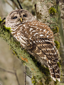 Braemar Owl 2