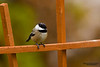 Black-capped Chickadee (Poecile atricapillus).  The Black-capped Chickadee is a small, common songbird, a passerine bird in the tit family Paridae.  Черношапочная гаичка