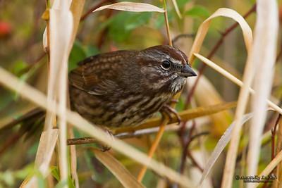 Song Sparrow (Melospiza melodia).  The Song Sparrow is a medium-sized American sparrow. Певчая зонотрихия