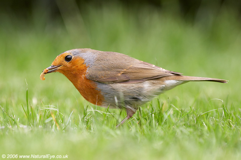 Robin with mealworm