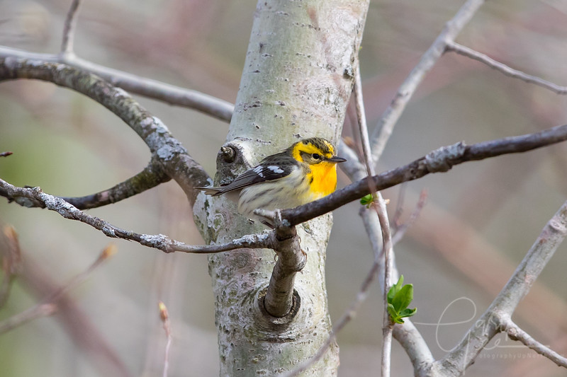 Blackburnian Warbler Female