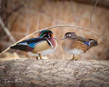 """Wood Duck Love"""