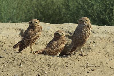3 birds sitting in a row