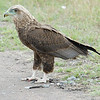 Juvenile Tawny Eagle???  Can anyone confirm?