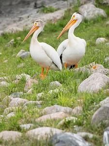 Pelicans, MN