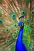 Peacock Eyes (Pave eristatus)