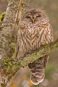 Braemar Owl 5