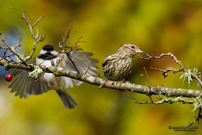 Pine Siskin (Carduelis pinus).  The Pine Siskin is a North American bird in the finch family.  Сосновый чиж.