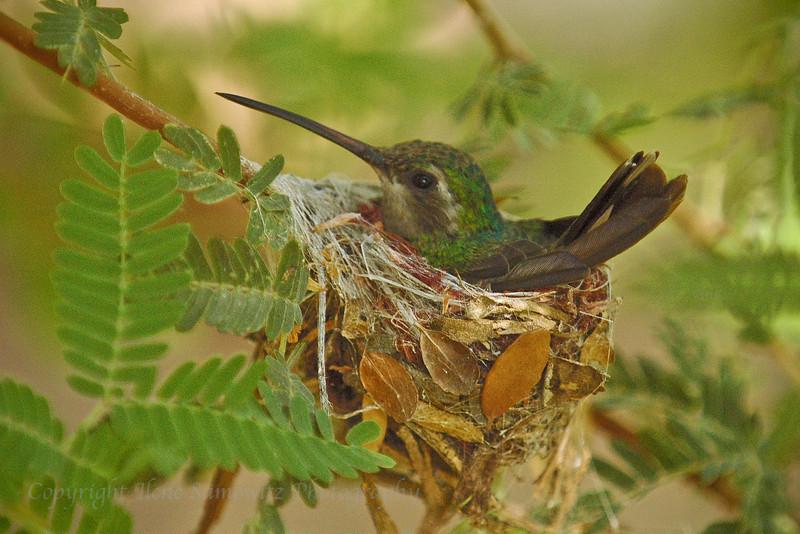 Broad-billed hummingbird on Nest